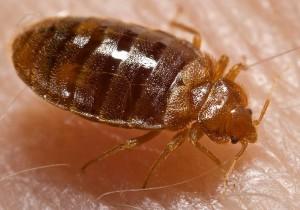 plosnite de lemn bed bugs