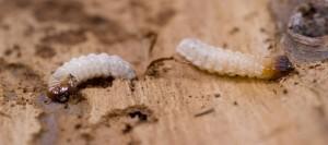 Dezinsectie carii de lemn | Anobium Punctatum larve