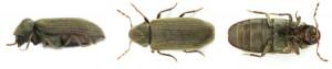Dezinsectie carii de lemn | anobium punctatum adult