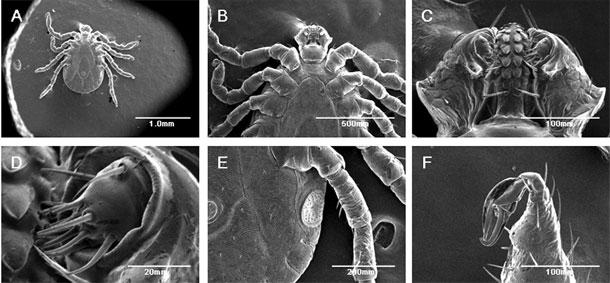 Cum scap de capuse  |  capusa sub microscop